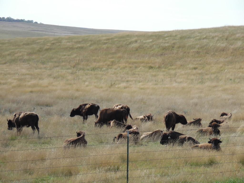 A small herd of buffalo...not something you see everyday ....