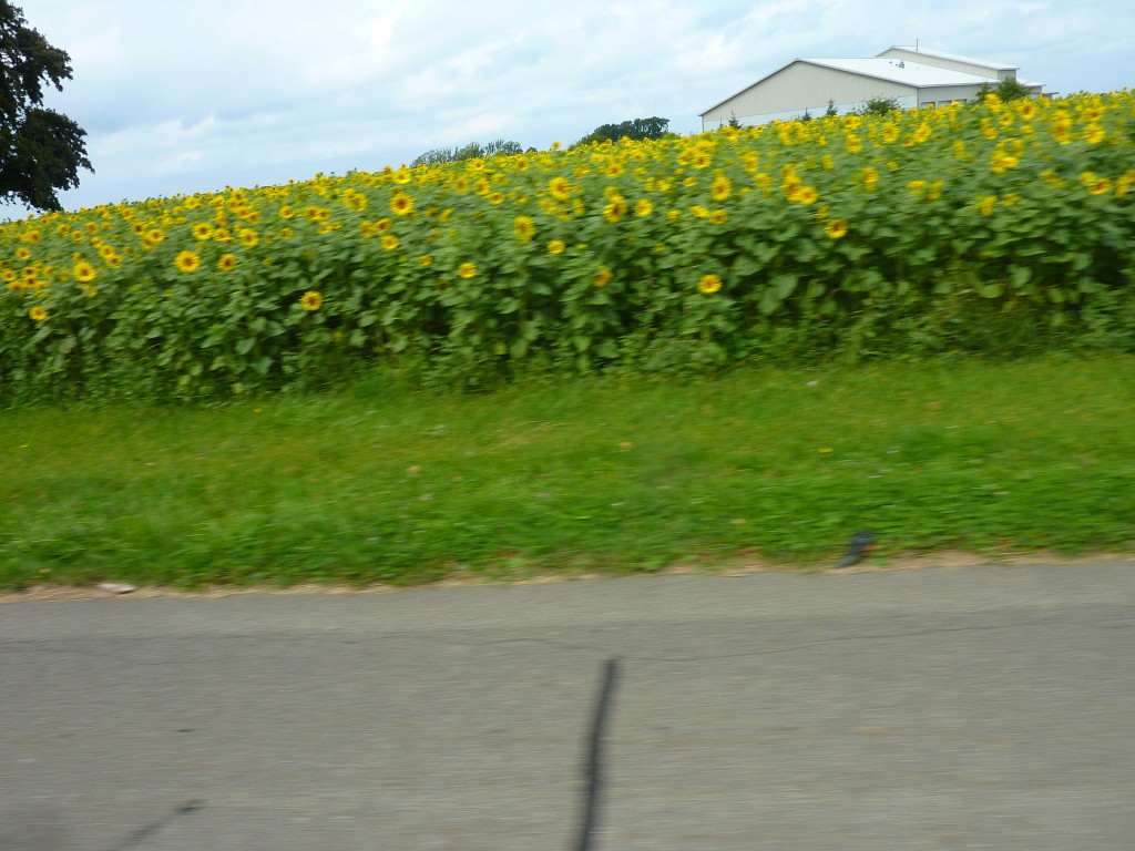 Next up, fields of Sunflowers in full bloom