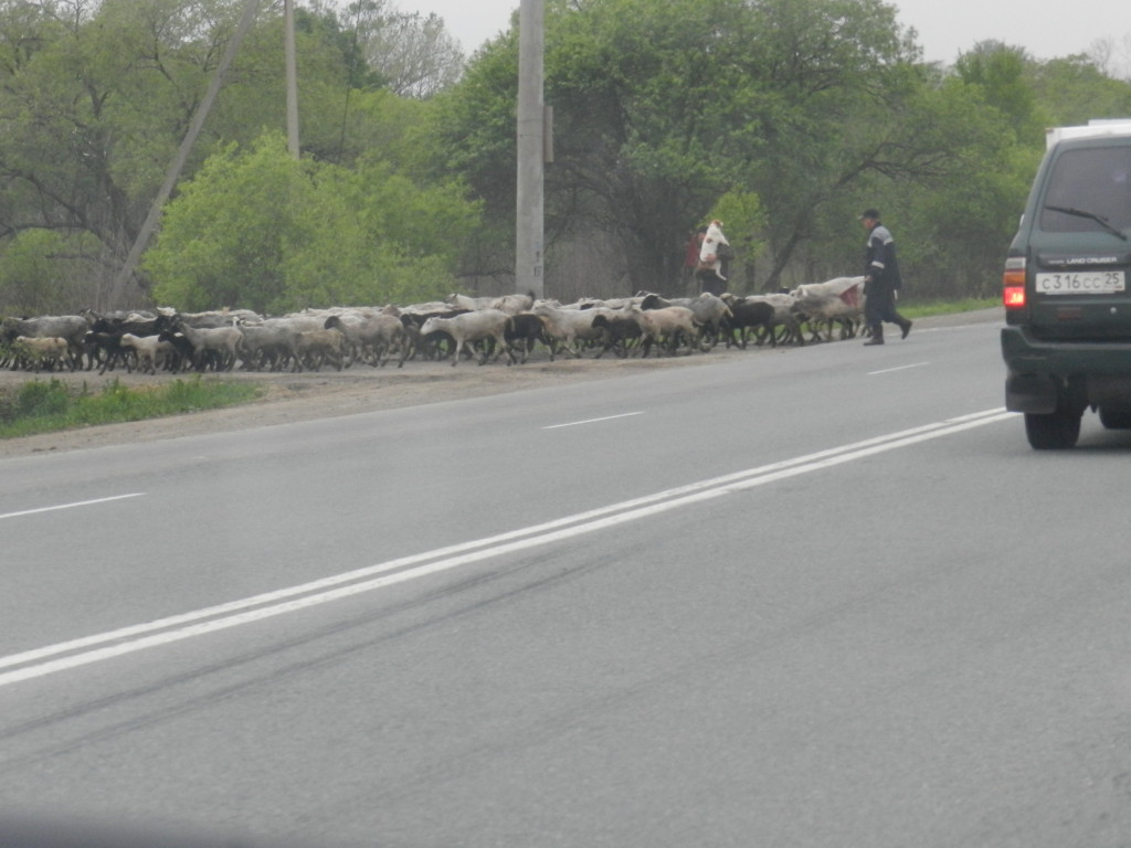 Sheepherders encountered about 30 miles outside Vladivostok