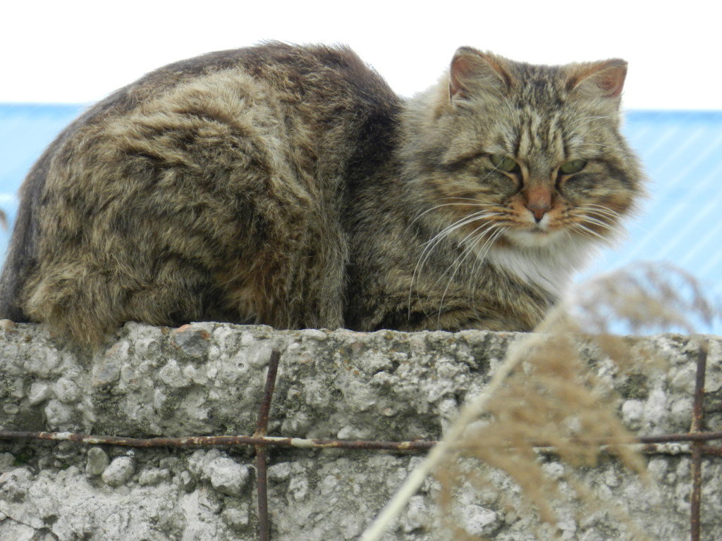 Russian kitty cat