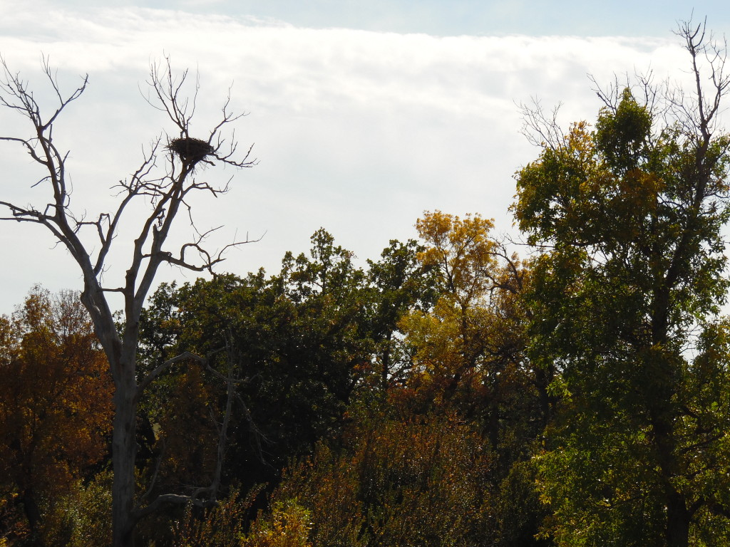 An eagle nest, I think, high in a tree...